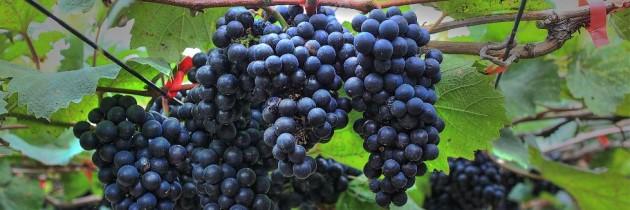 對 黑后葡萄致敬