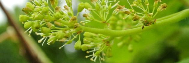 黑后風華 葡園觀察-開花、結果、防害