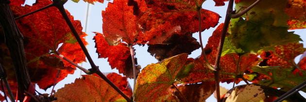 黑后風華 萄園觀察-成熟、採收、冬眠